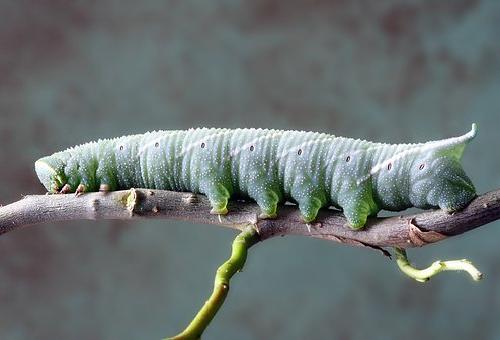 芋虫 蝶 蛾