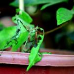 トマトの害虫問題!芋虫の駆除方法について!