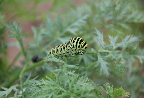 芋虫 種類 緑