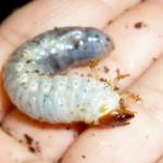 白色の芋虫!その種類をご紹介!