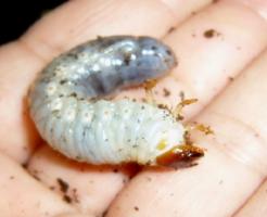 芋虫 種類 白
