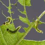 小さい芋虫の種類!一体何!?