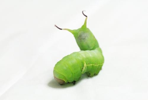 芋虫 種類 スズメガ