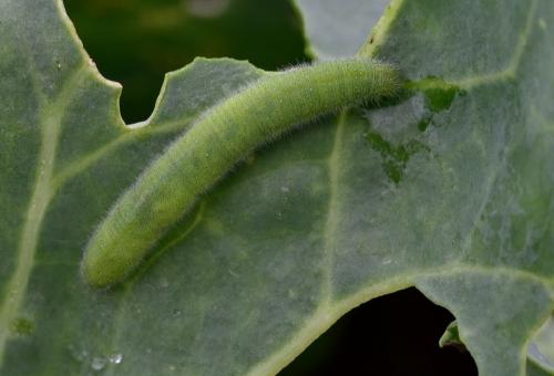 青虫 ブロッコリー 食べる