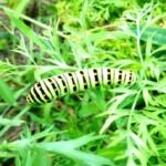 キアゲハの幼虫!前蛹状態になるまで!