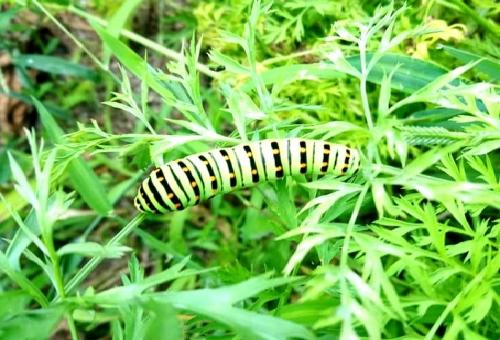 幼虫 キアゲハ 前蛹