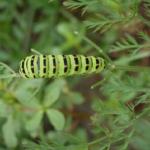 キアゲハの幼虫の時期!成長の仕方とは!?