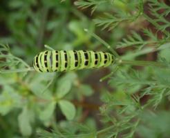 幼虫 キアゲハ 時期