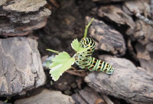 幼虫 キアゲハ 見分け方