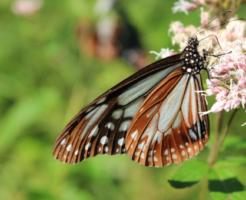 青虫 蝶 種類