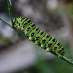 芋虫から蝶へ!その成長の仕組みについて!