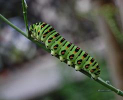 芋虫 蝶 成長