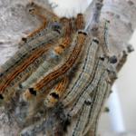 マイマイガの幼虫の毒について!強さはどれくらい!?