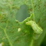 小松菜に発生する青虫!その駆除対策法や農薬について!