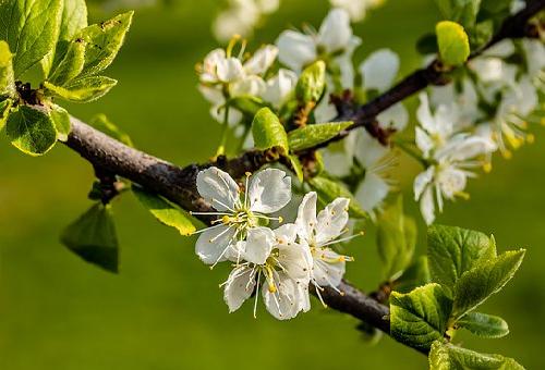 幼虫 梅の木 オビカレハ