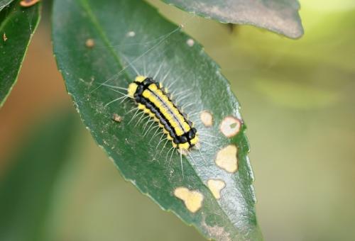 幼虫 ホタルガ 毒