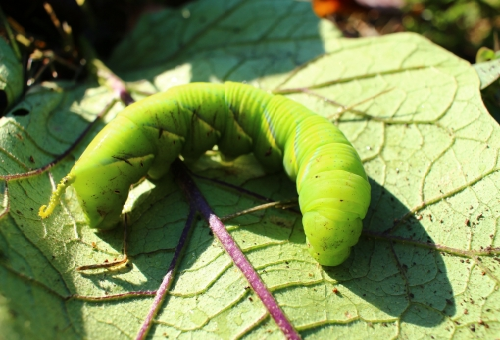 青虫 毛虫 芋虫