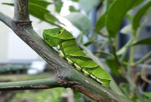 青虫 色 緑