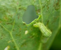 青虫 駆除 野菜