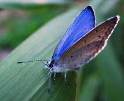幼虫 ルリシジミ 餌
