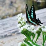 ミカドアゲハとアオスジアゲハの幼虫の違いとは!?