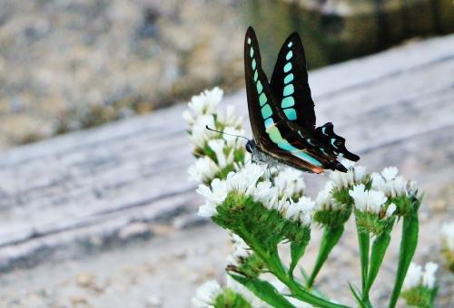 幼虫 ミカドアゲハ アオスジアゲハ