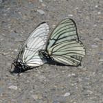ゴマダラチョウの幼虫の色の変化について