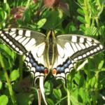 ナミアゲハの幼虫のオスメスの見分け方はあるの?