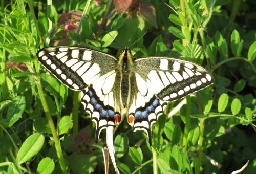 幼虫 ナミアゲハ オスメス
