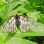 ウスバシロチョウの幼虫は毒を持っているの!?