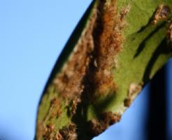 幼虫 チャドクガ 生態