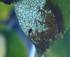 幼虫 チャドクガ 毛