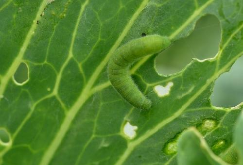 青虫 白菜 種類