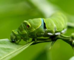 青虫 飼育 方法