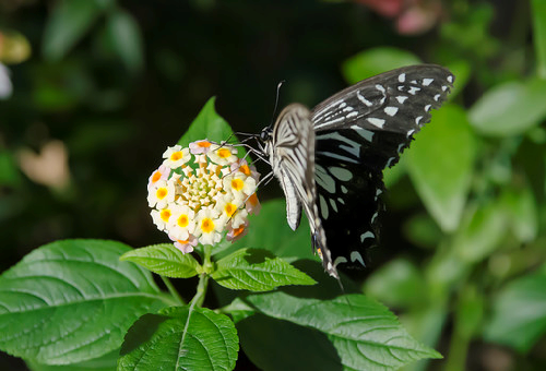 幼虫 ナミアゲハ 色