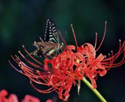 幼虫 ナミアゲハ 飼育