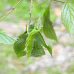 オオムラサキの幼虫は病気になりやすい?