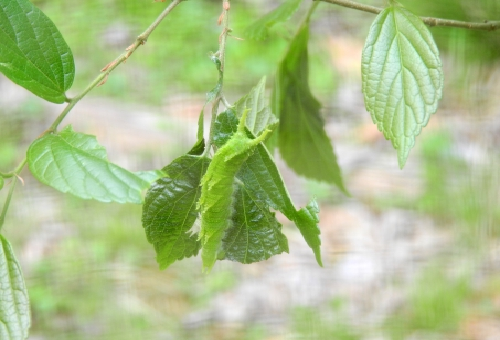 幼虫 オオムラサキ 病気