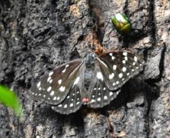 幼虫 オオムラサキ 飼育