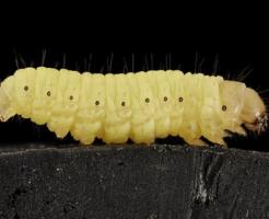 青虫 種類 蛾