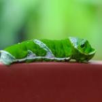青虫の蝶の幼虫と蛾の幼虫の見分け方とは!?