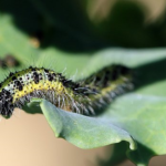 ルッコラに発生する青虫の駆除!対策方法について!