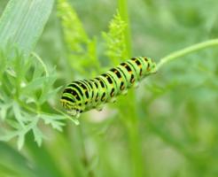 幼虫 キアゲハ 蛹化