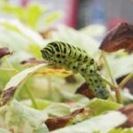 キアゲハの幼虫!食草まとめ!
