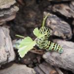 キアゲハの幼虫の他の幼虫!見分け方について!