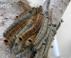 幼虫 マイマイガ 毒