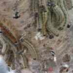 マイマイガの幼虫が大量発生!その原因とは!?