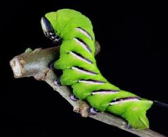 芋虫 蝶 種類