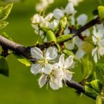 梅の木に発生する毛虫!オビカレハの幼虫の対策法は?