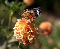 幼虫 ツマグロヒョウモン 羽化 日数